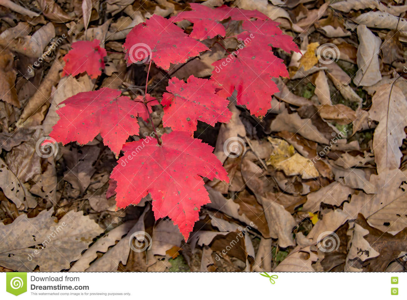 Mountain Maple Acer Spicatum Stock Image Image Of Leaves