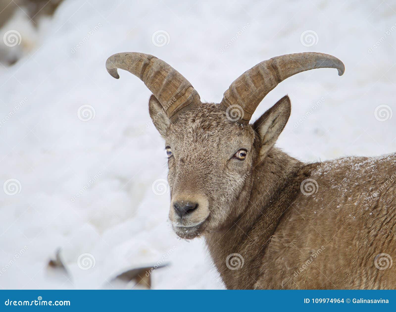Pity, asian mountain goat