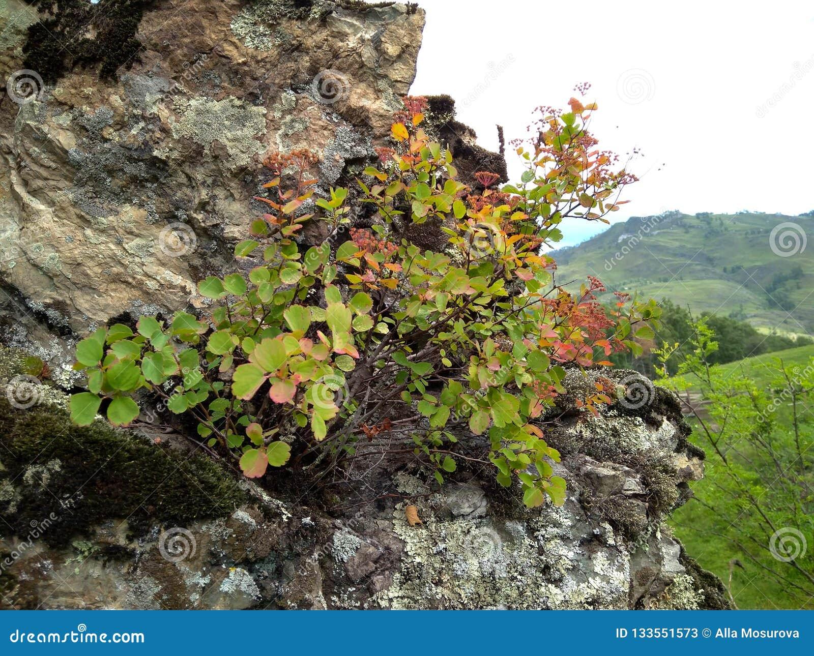 Mountain shrub grows in rocky terrain among rocks on sparse stones