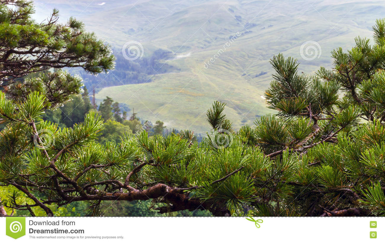 Mountain spruce in the foreground