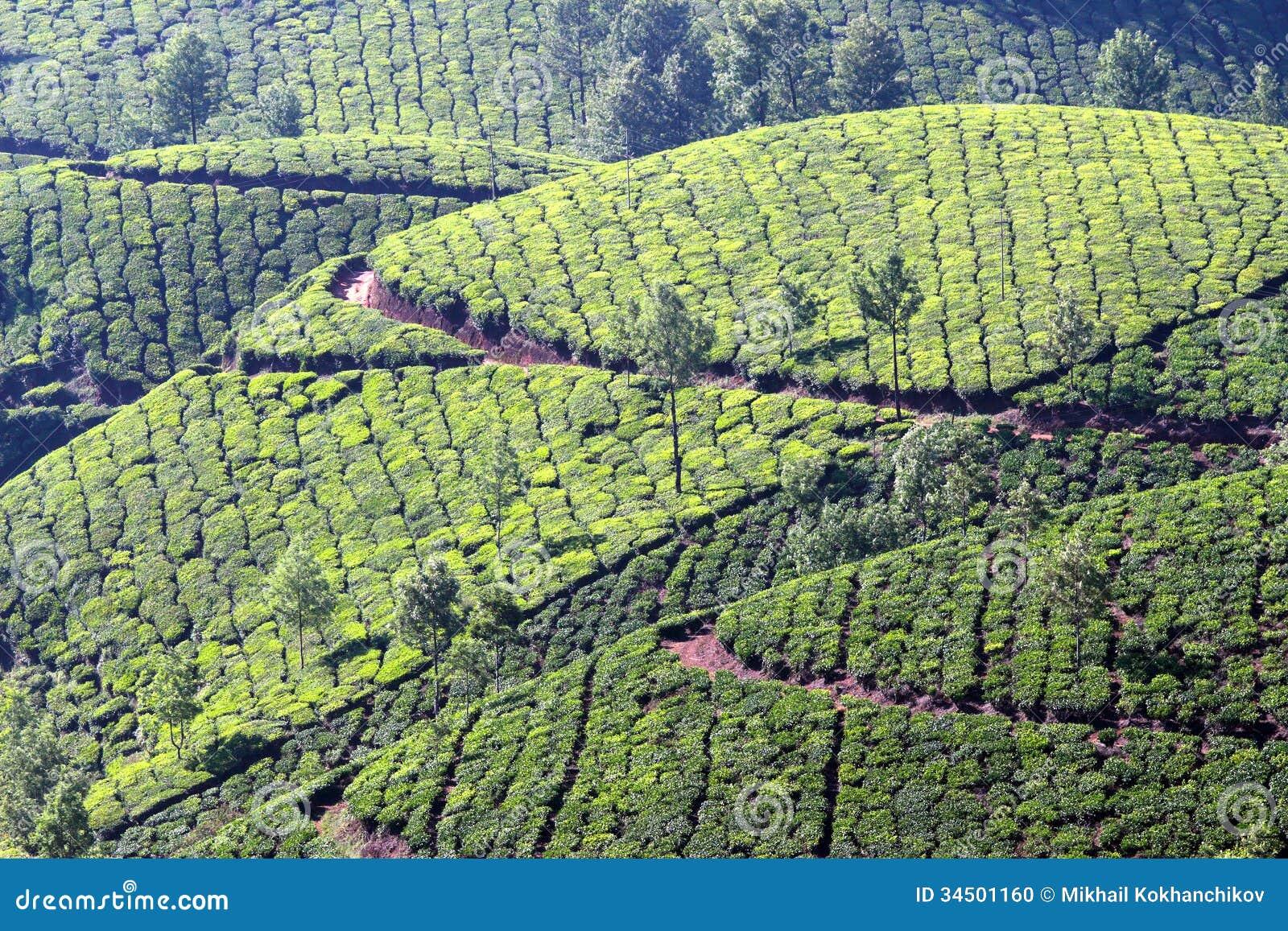 Mountain Tea Plantation In India Stock Photo - Image: 34501160