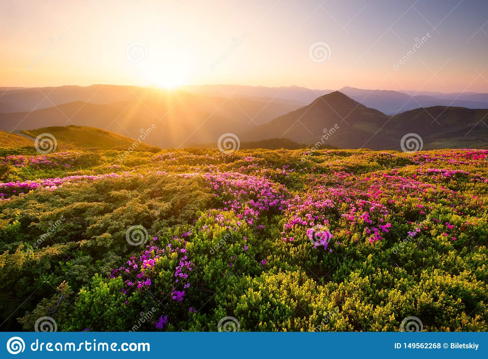 Mountains during flowers blossom and sunrise. Flowers on mountain hills. Natural landscape at the summer time. Mountains range.