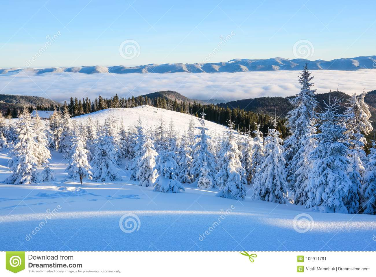 Mountains in a foggy morning and snow covered green Christmas trees. Marvelous winter background. Beautiful Christmas holliday.