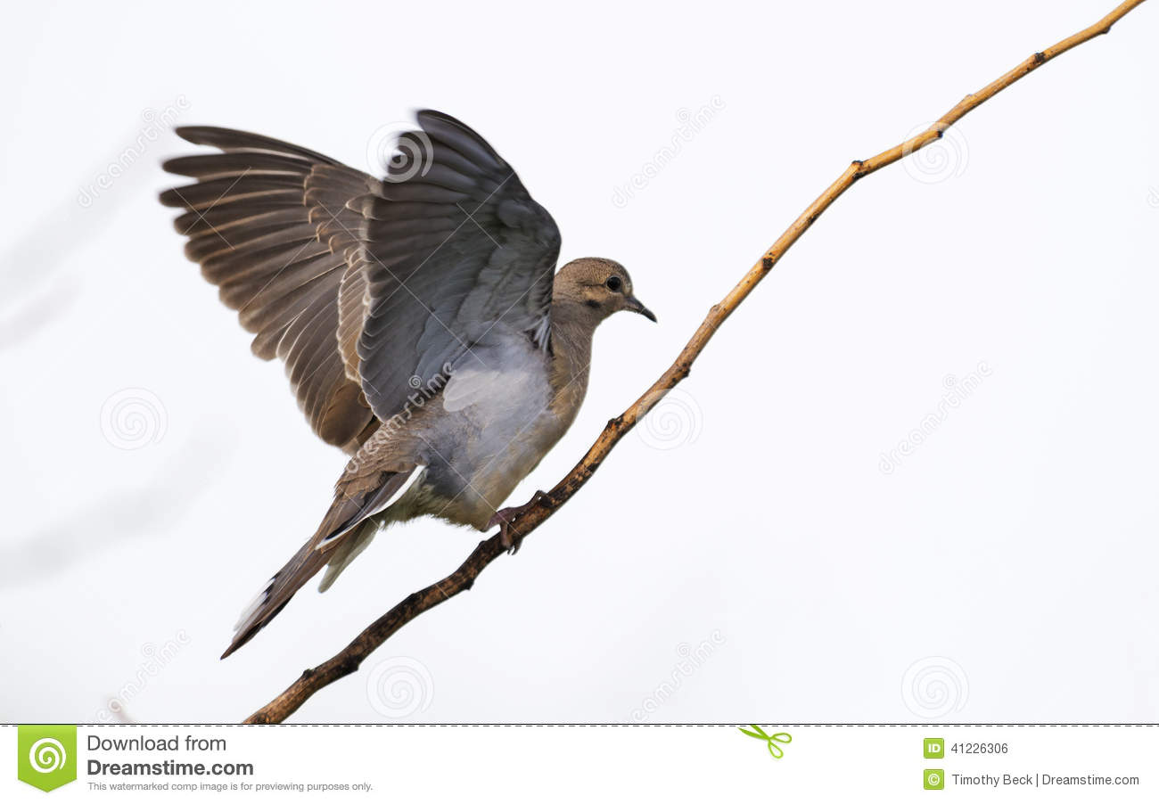 Mourning Dove Landing On Branch Stock Photo