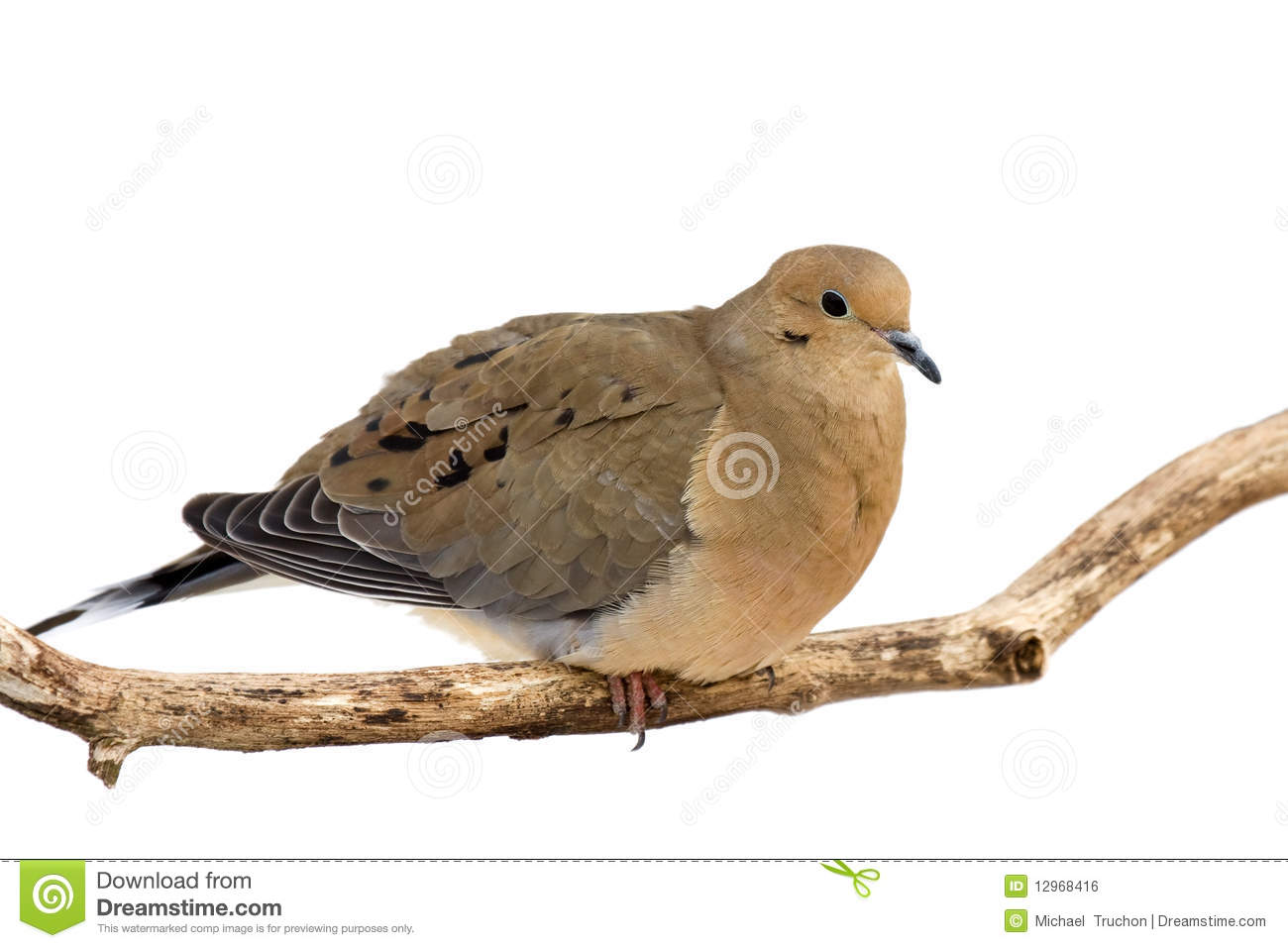 Mourning dove overlooks its surroundings