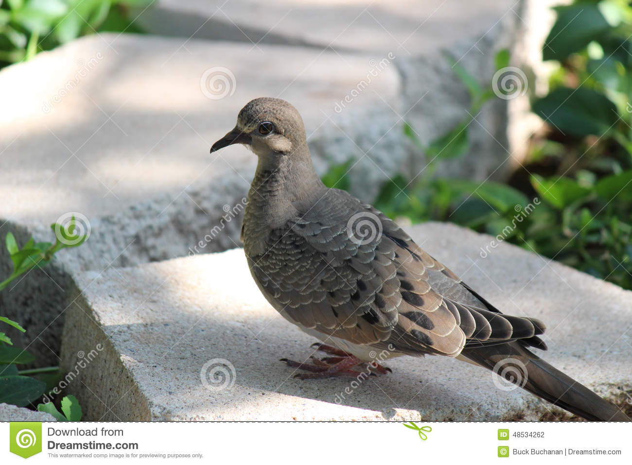 Unique Mourning Dove Coloring Page Composition - Examples ...