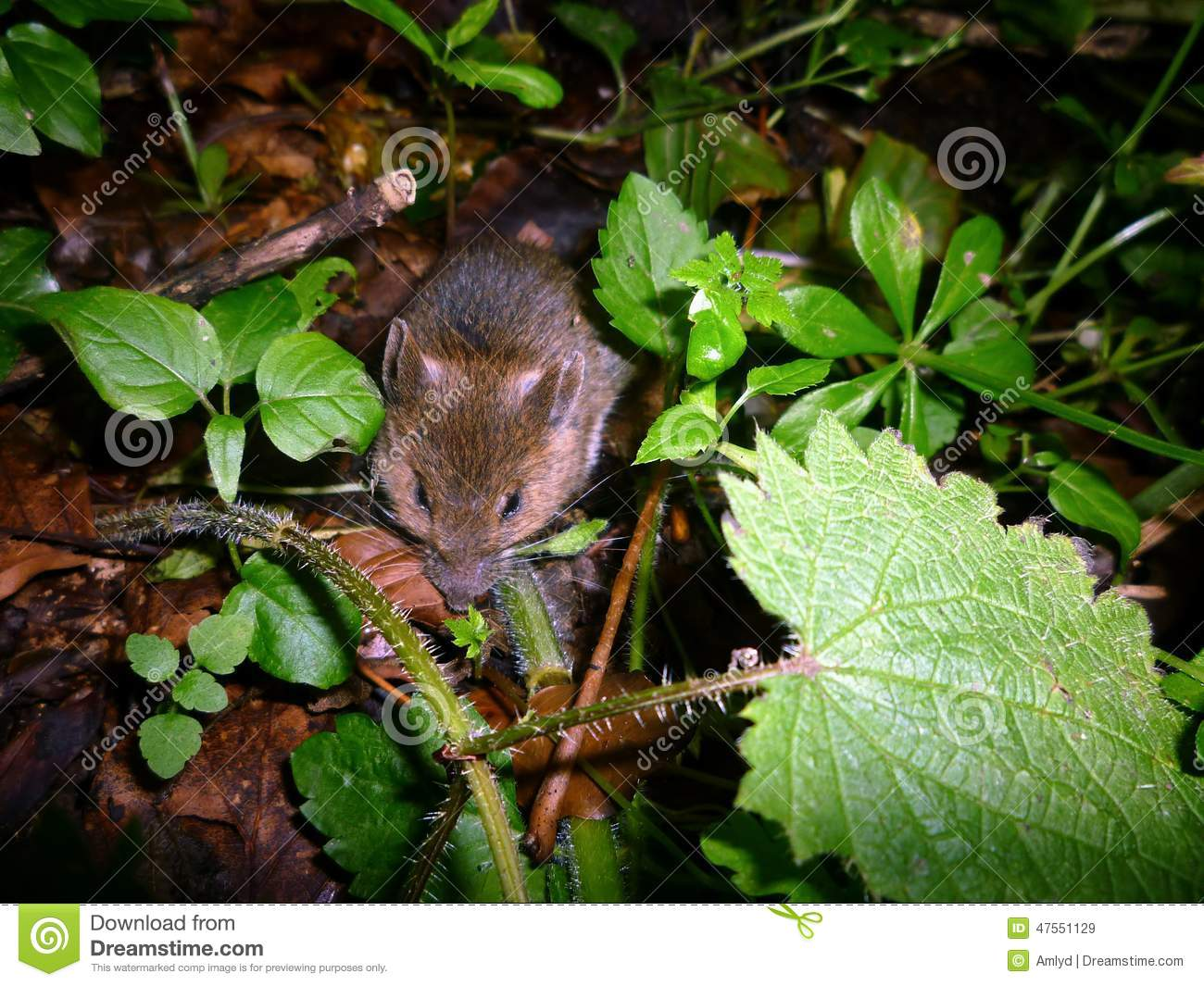 Mouse cowering in woodland floor vegetation