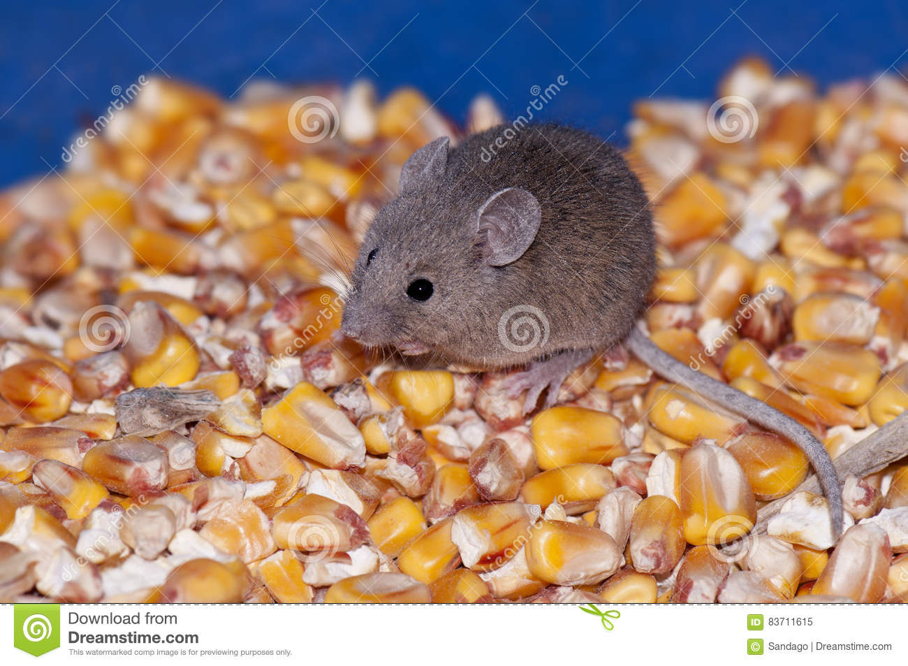 Mouse Eating Corn Stock Photo