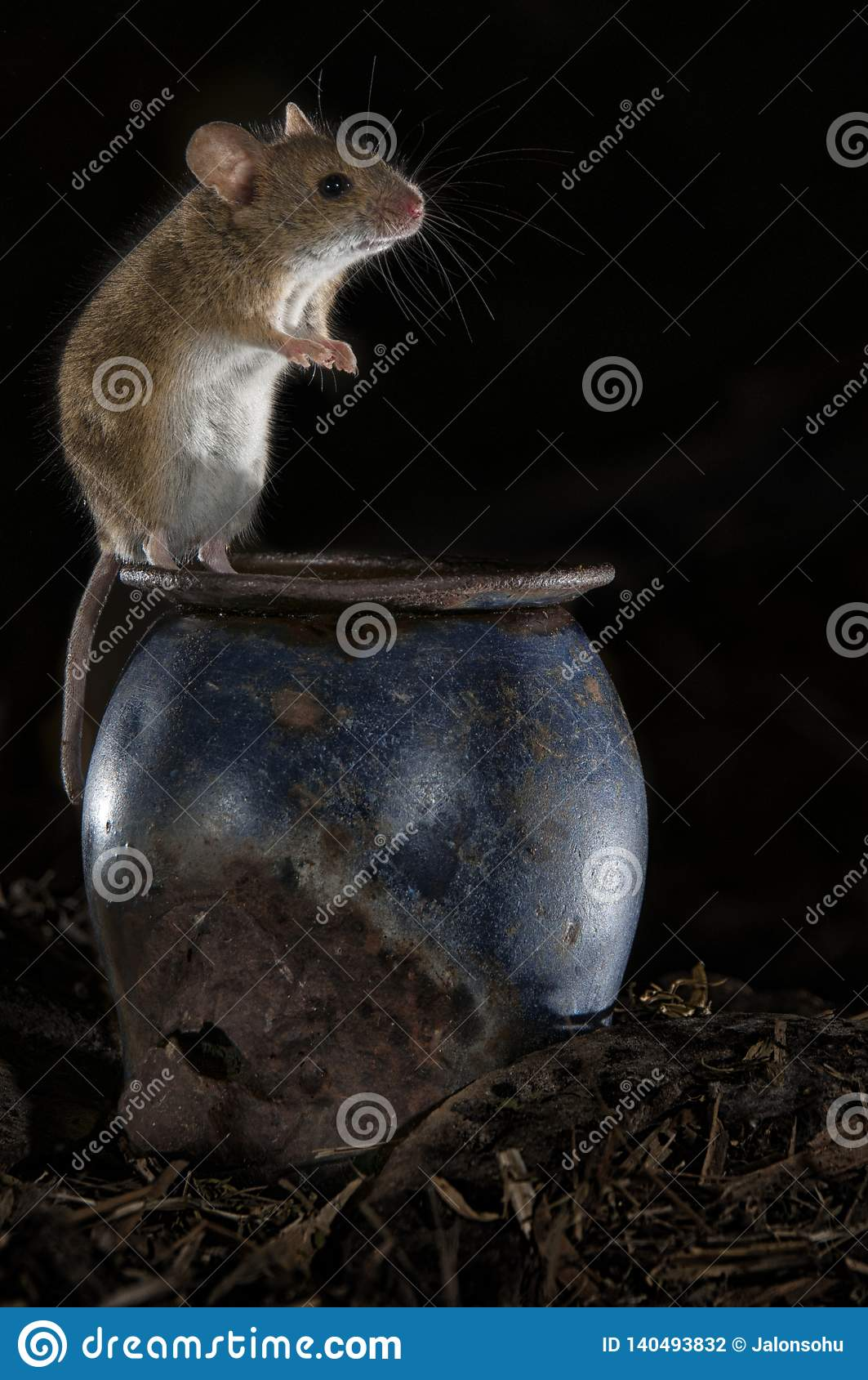 Mouse Playing In The Old Attic Apodemus Sylvaticus Stock