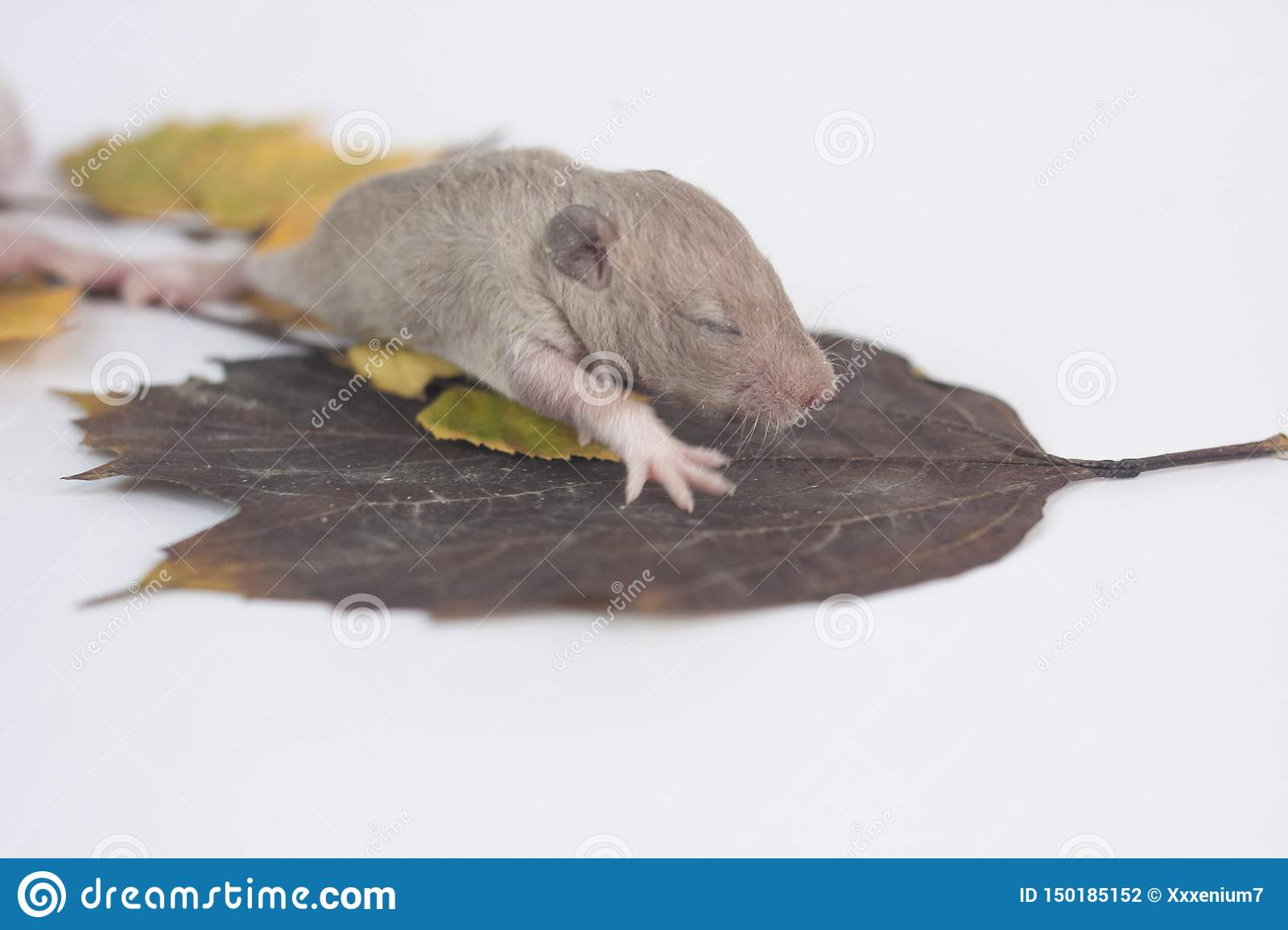 The Mouse Sits On The Leaf Newborn Baby Rat Closeup Stock Photo Image Of Home Mouse 150185152