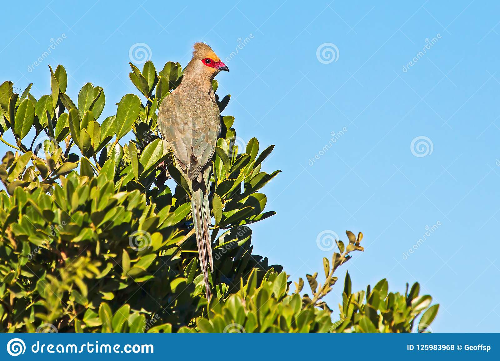 Mousebird Vermelho-enfrentado na árvore no parque nacional