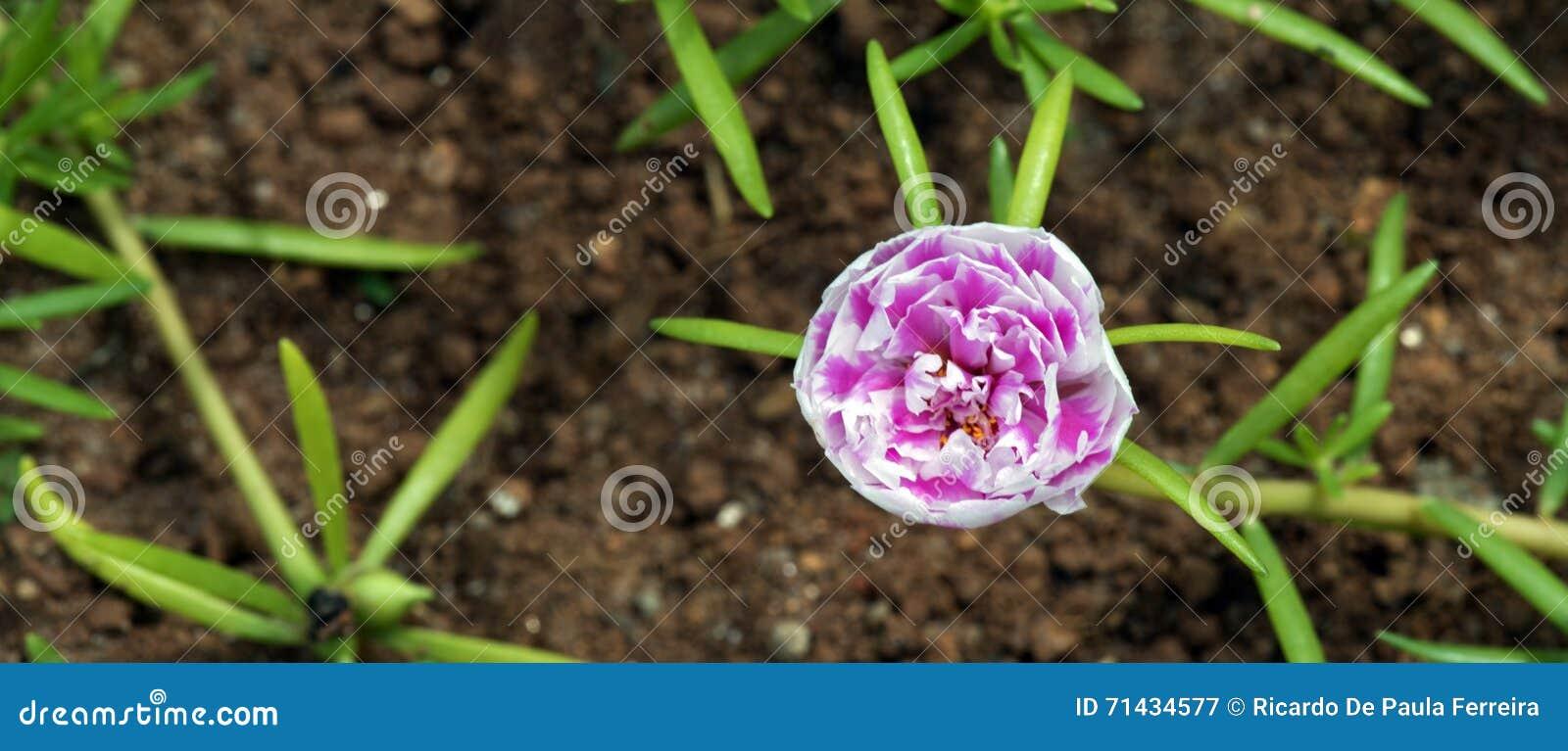 Mousse De Rose Fleur Etrange Qui S Ouvre A Onze Heures Image Stock