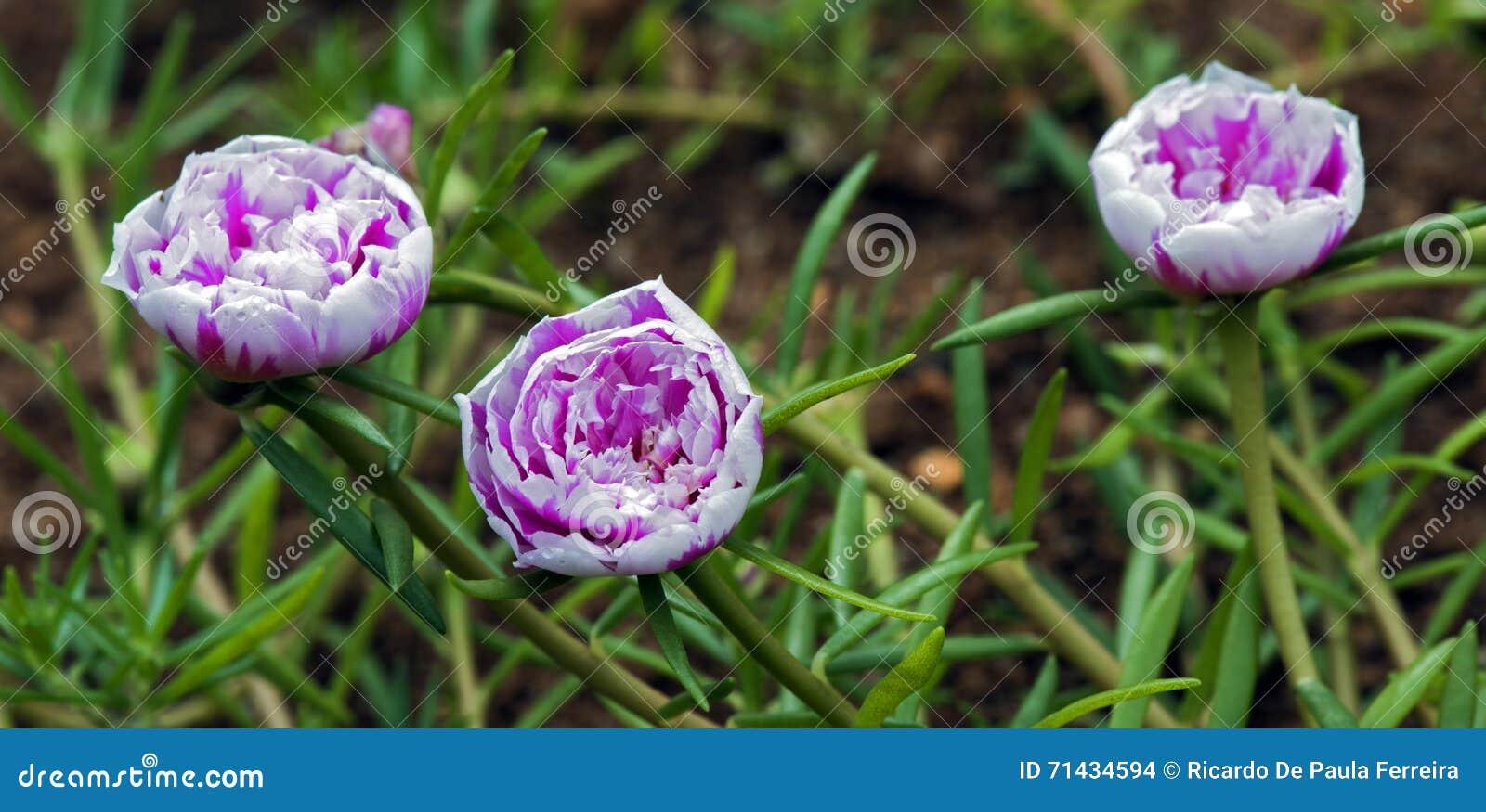 Mousse De Rose Fleur Etrange Qui S Ouvre A Onze Heures Photo Stock