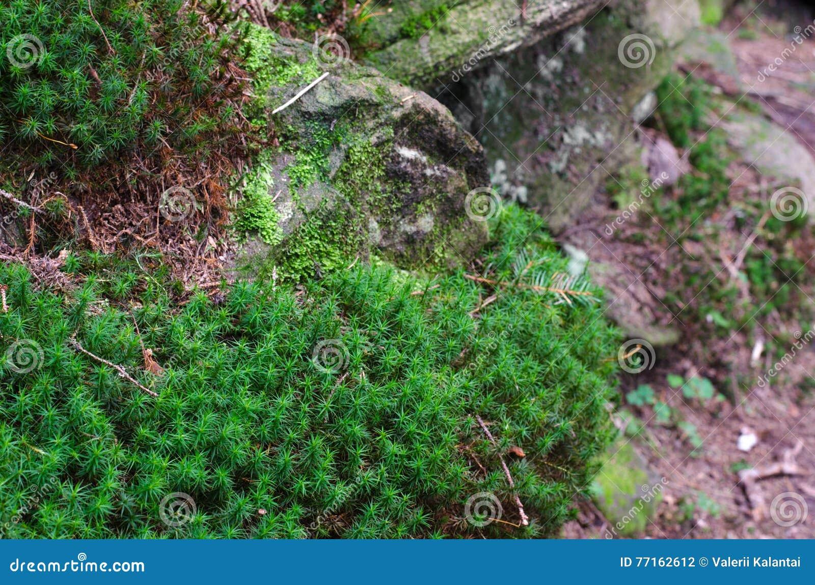 Mousse dense et luxuriante de forêt s élevant sur un arbre en été