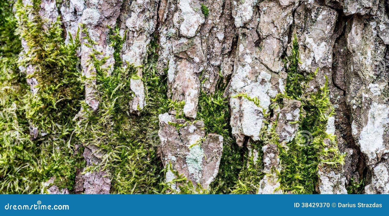 Mousse s 39 levant sur l 39 corce du tronc d 39 arbre photo stock image 38429370 - Mousse sur les arbres ...