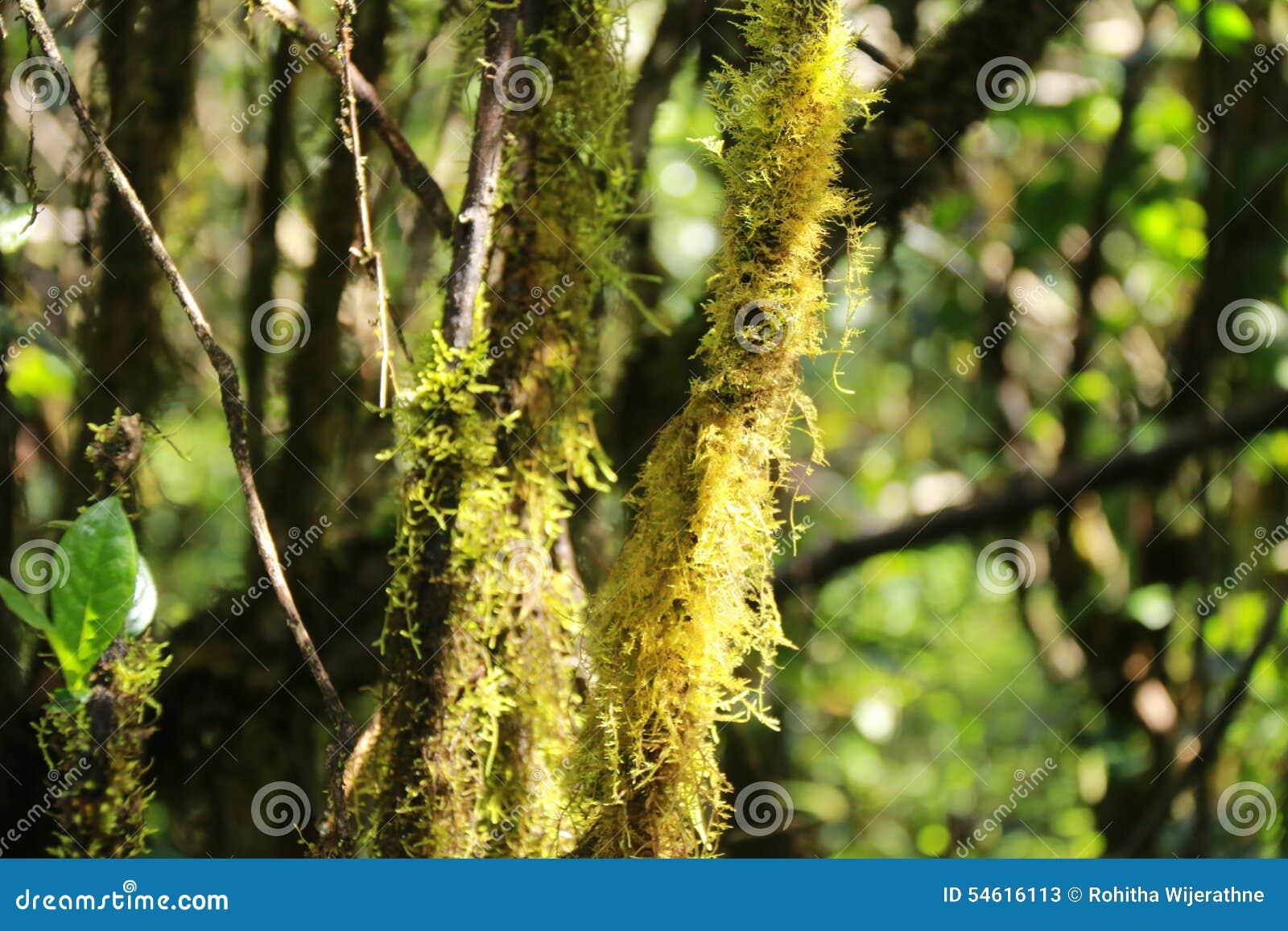 Mousse sur l 39 corce d 39 arbre photo stock image 54616113 - Mousse sur les arbres ...
