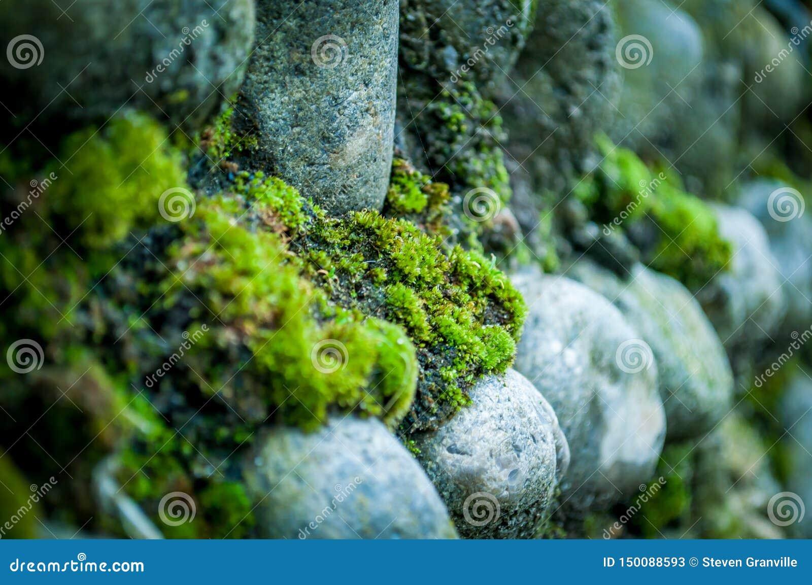 Mousse sur la Norfolk Flint Wall