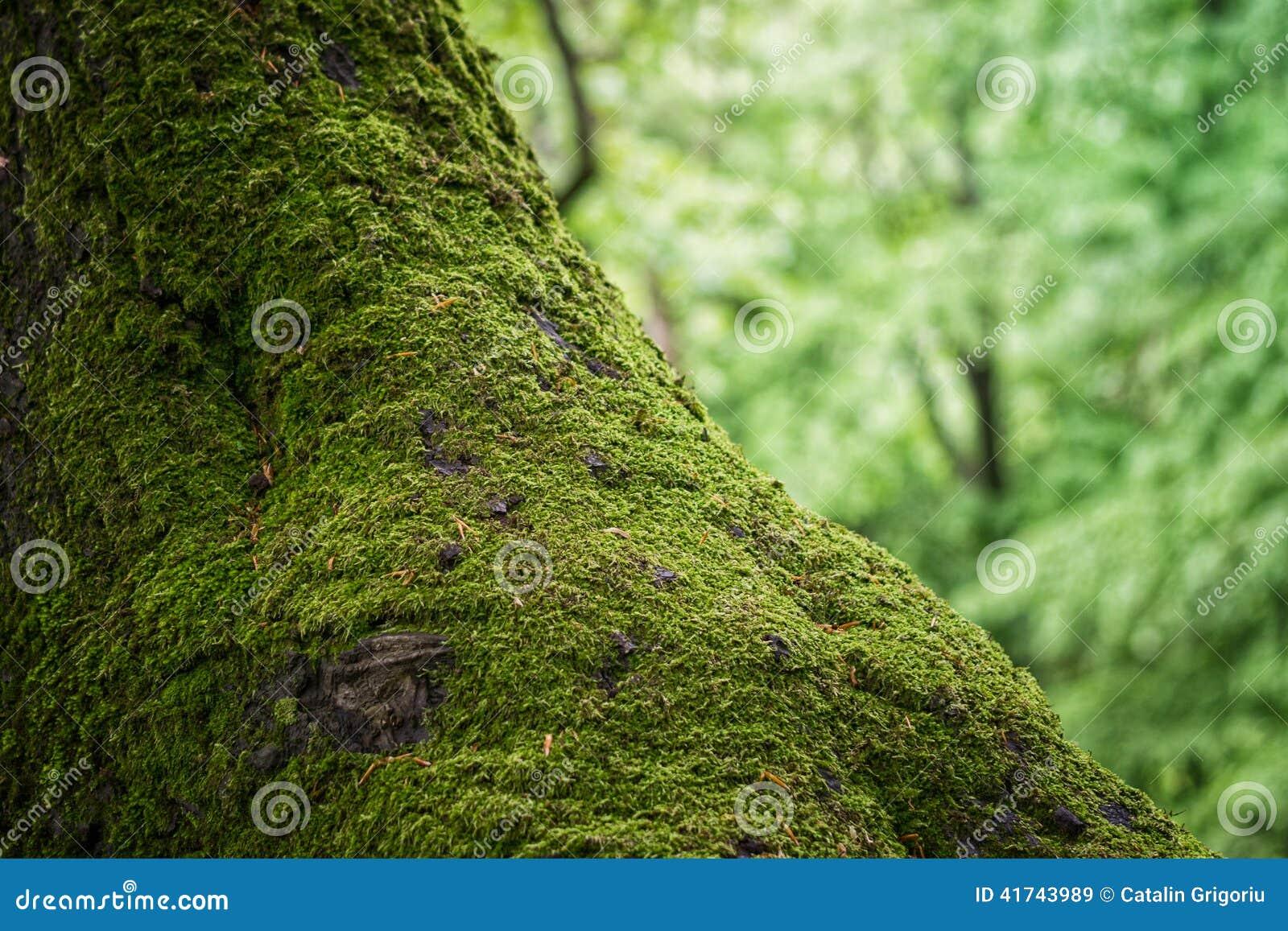Mousse sur un tronc d 39 arbre photo stock image 41743989 - Mousse sur les arbres ...