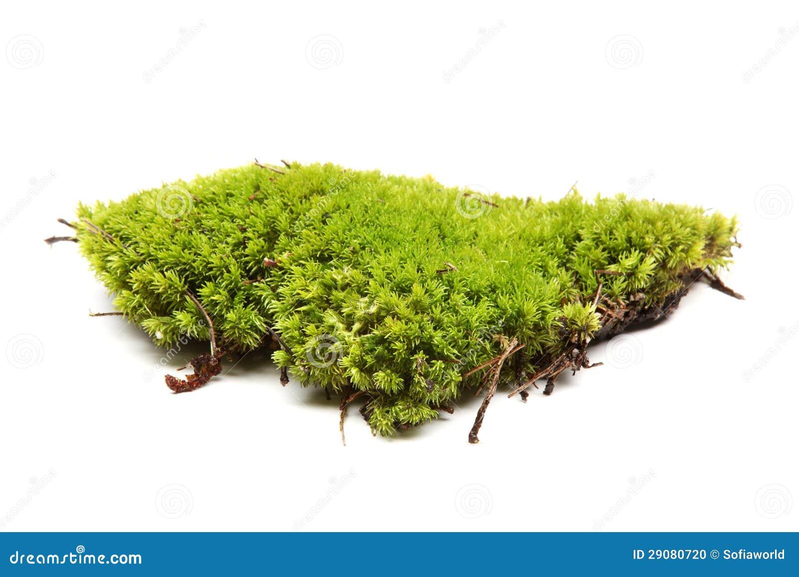 mousse verte photo stock image du botanique flore couleur 29080720. Black Bedroom Furniture Sets. Home Design Ideas