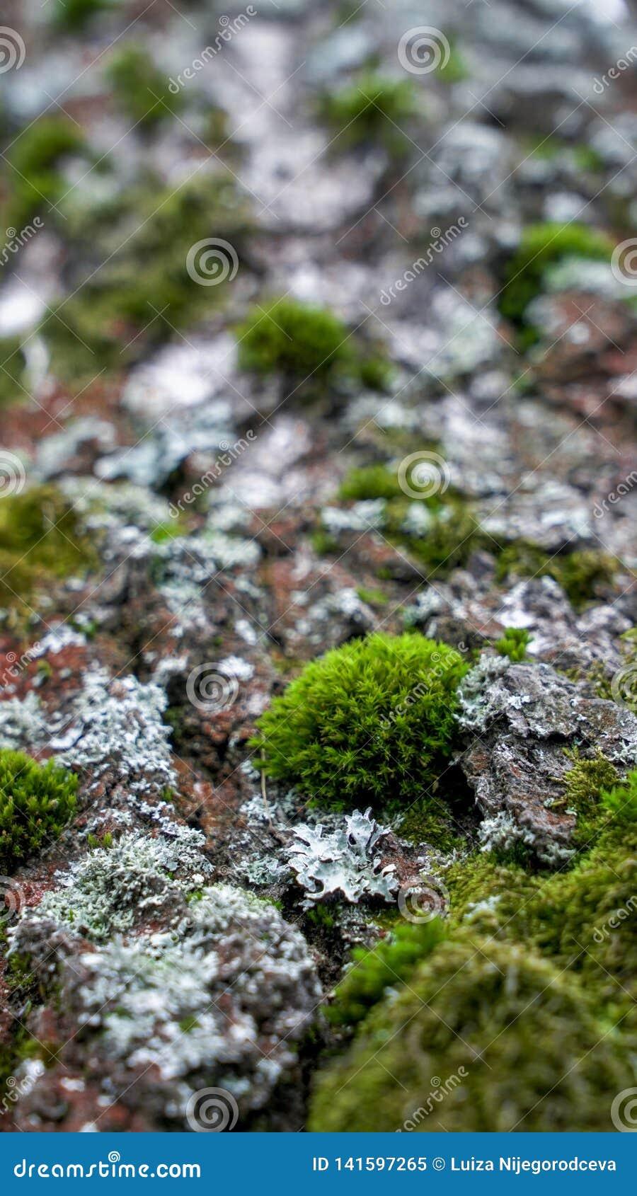 Mousse verte sur la vieille forêt d arbre au printemps