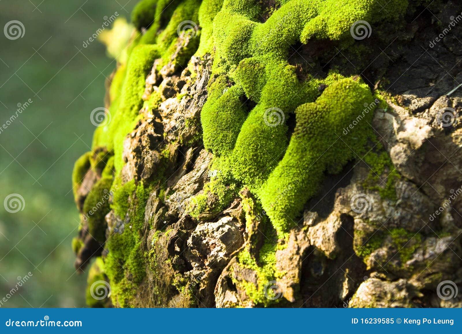 Mousse verte sur un arbre photo libre de droits image - Mousse sur les arbres ...