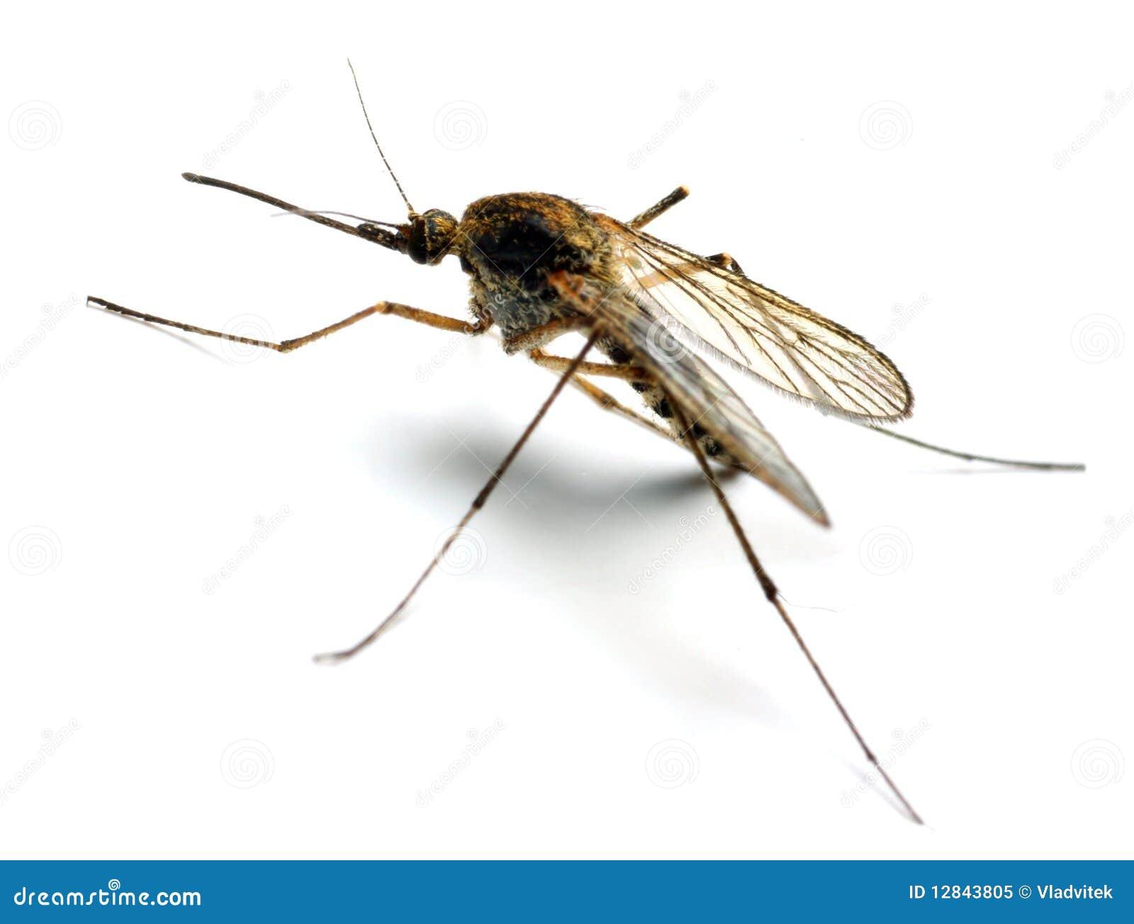 Moustique d anophèles