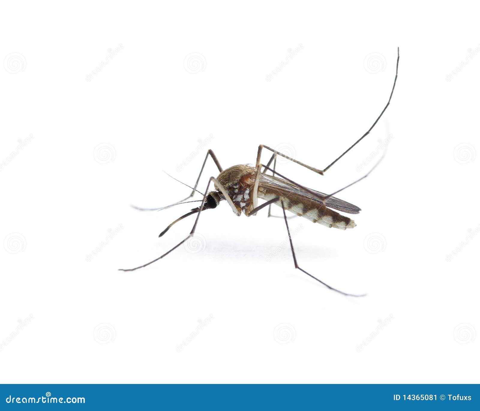Moustique d insecte