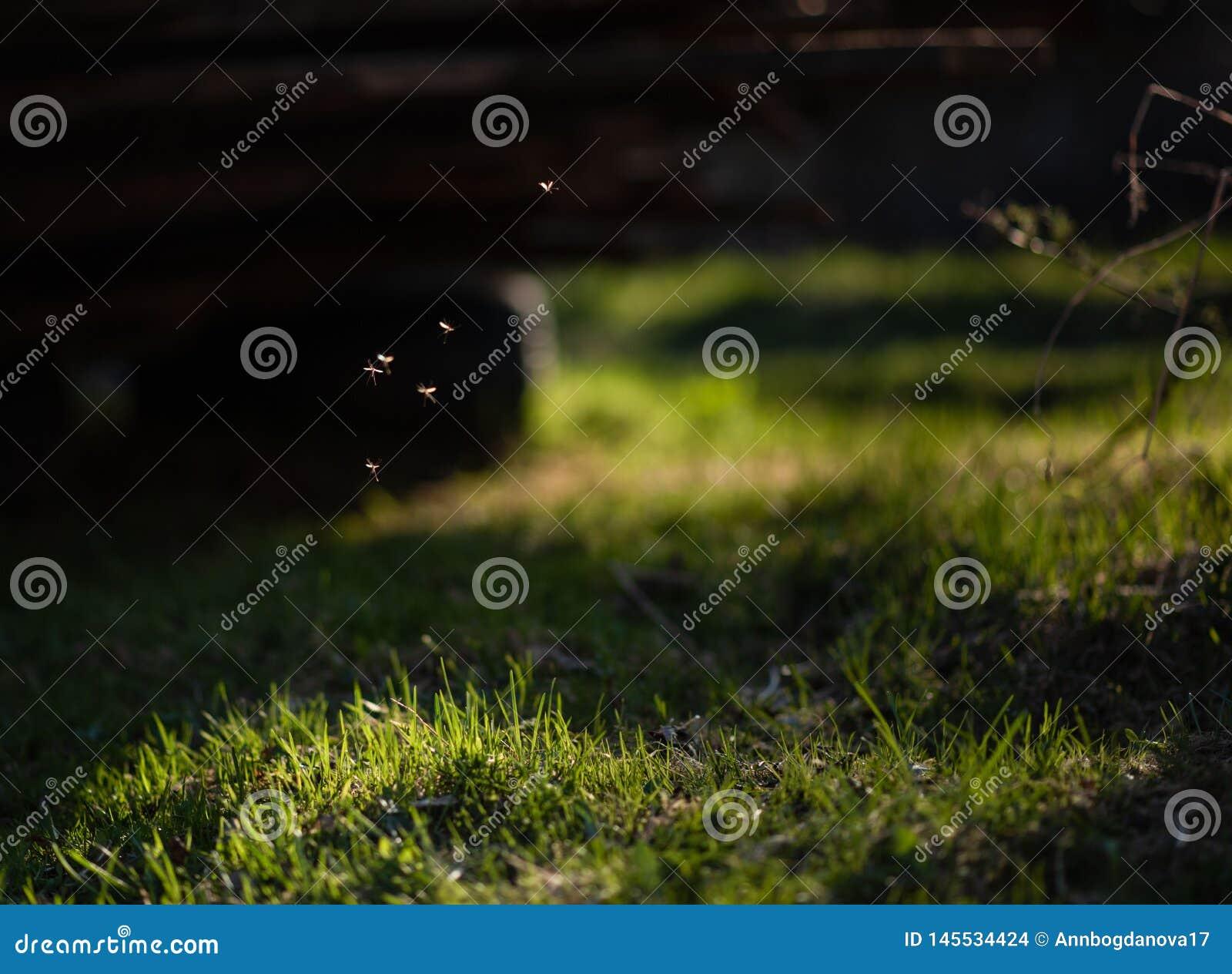 Moustiques volant dans l herbe au soleil