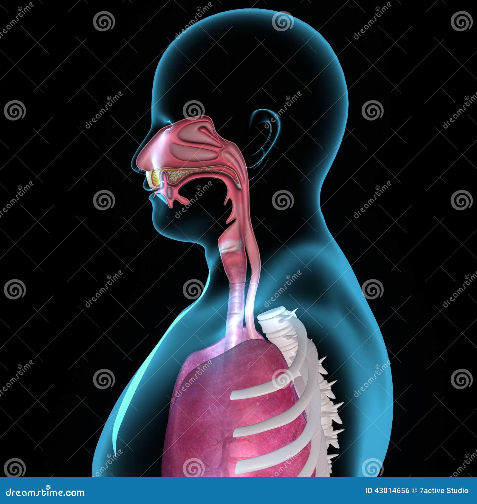 Mouth Anatomy Stock Illustration Illustration Of Diagram 43014656