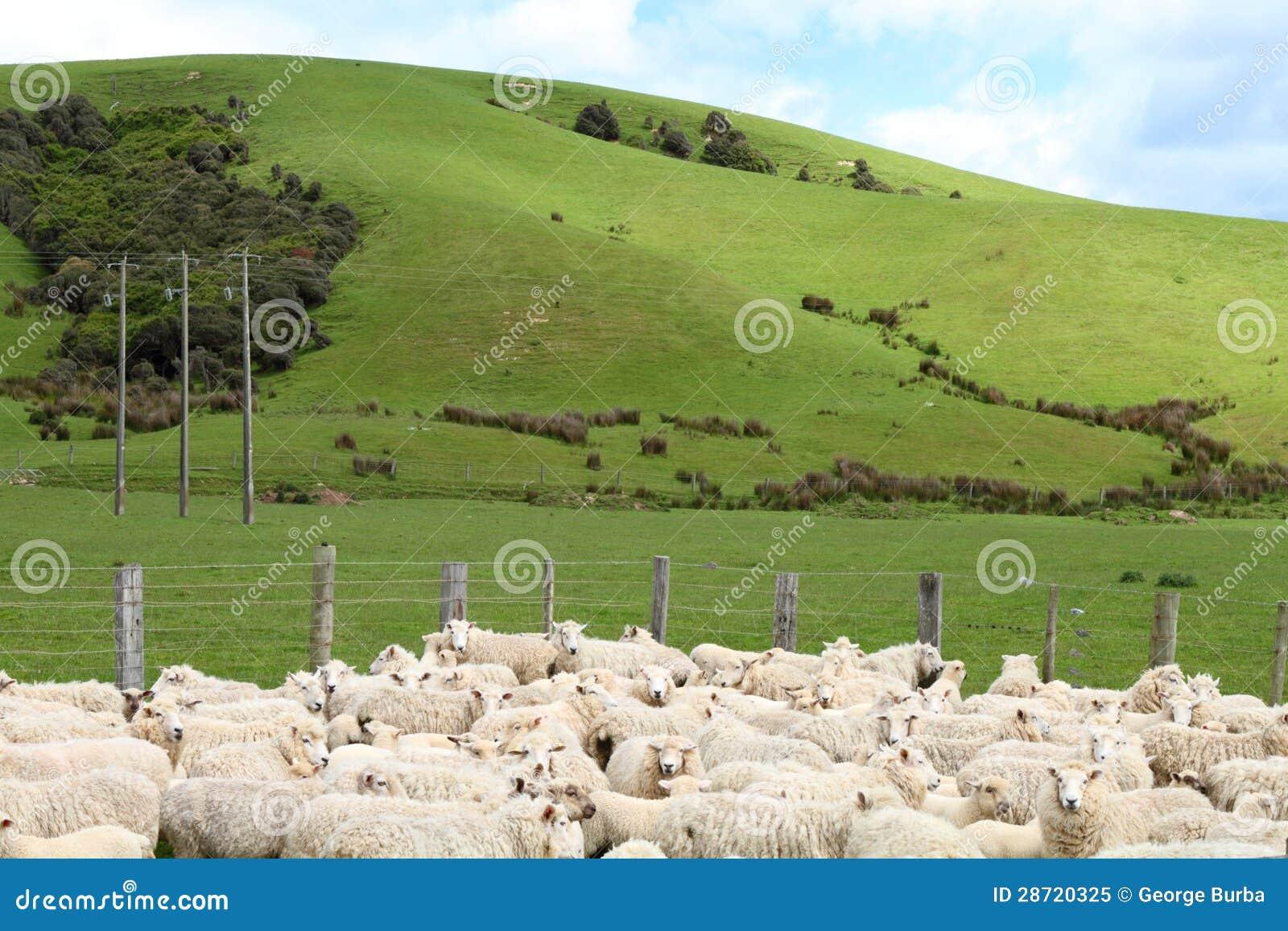 Moutons à la ferme