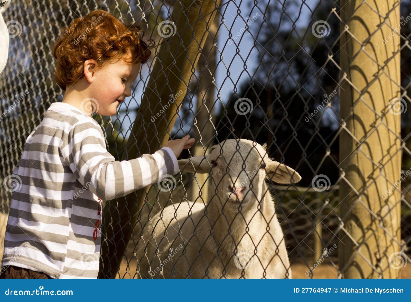 Moutons émouvants de garçon par la frontière de sécurité
