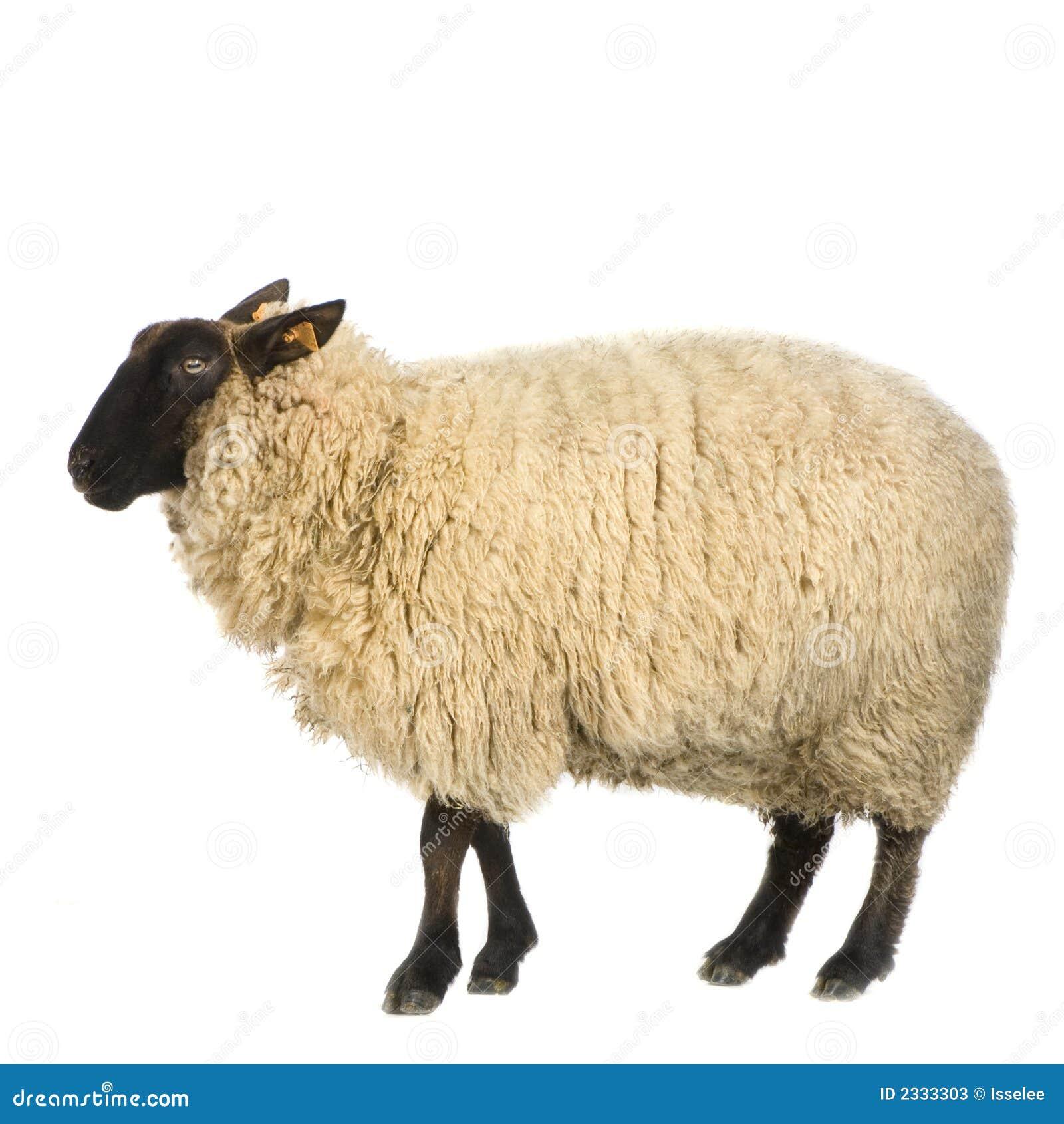 Moutons image stock image du blanc mouton ferme - Photos de moutons gratuites ...