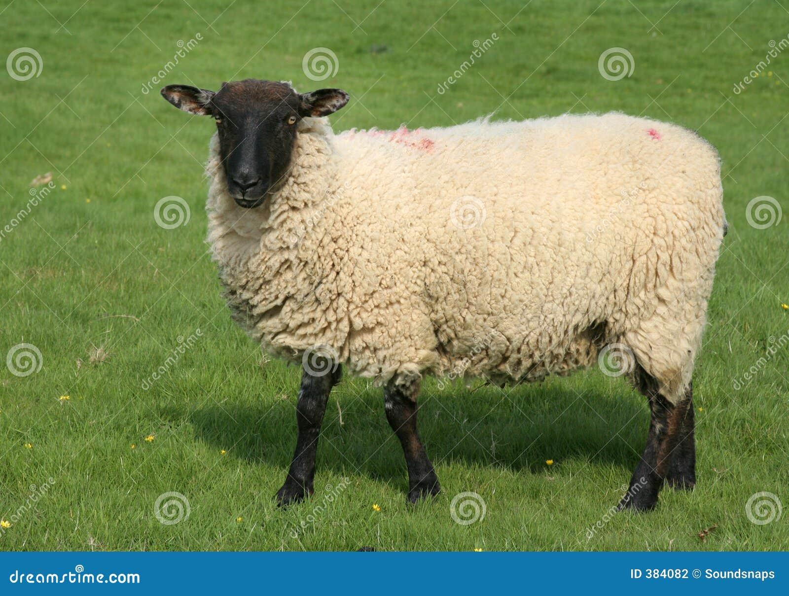 Moutons anglais dans le domaine