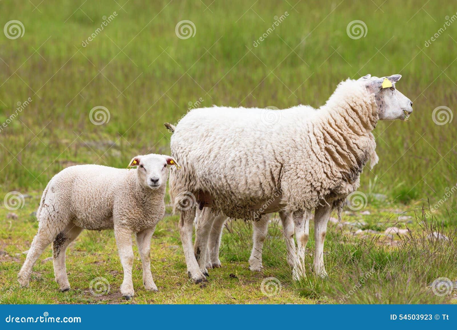 Moutons avec des agneaux
