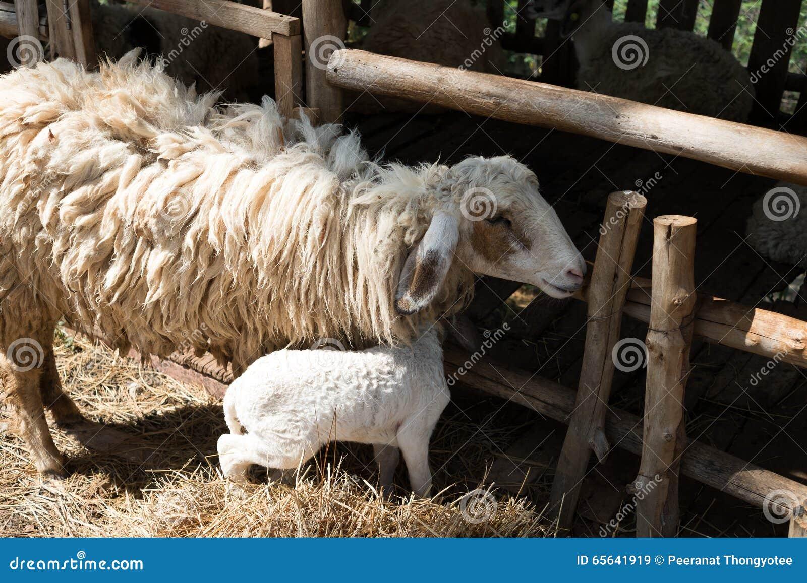 Moutons avec la cage