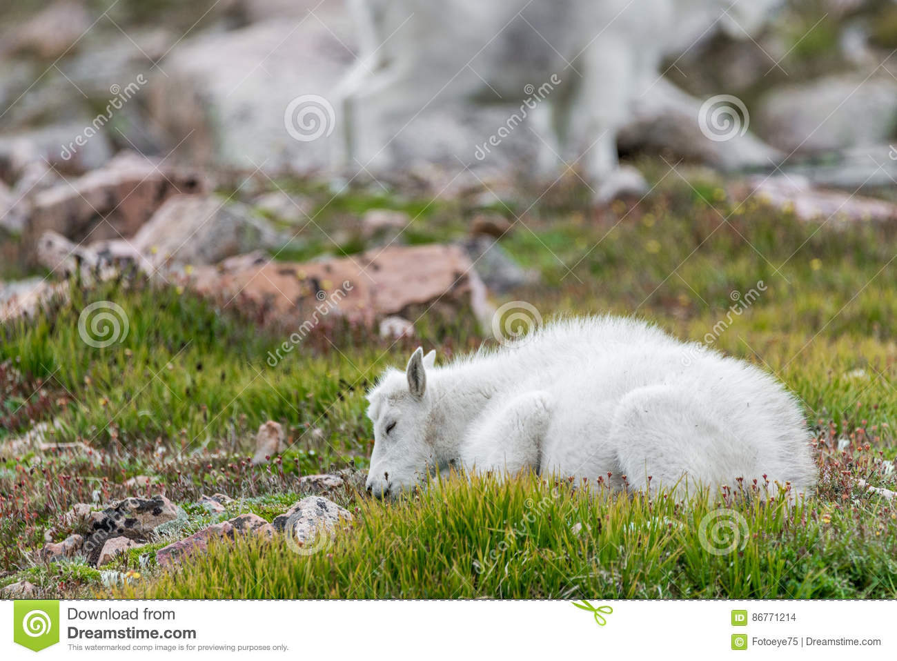 Moutons blancs de Big Horn - Rocky Mountain Goat