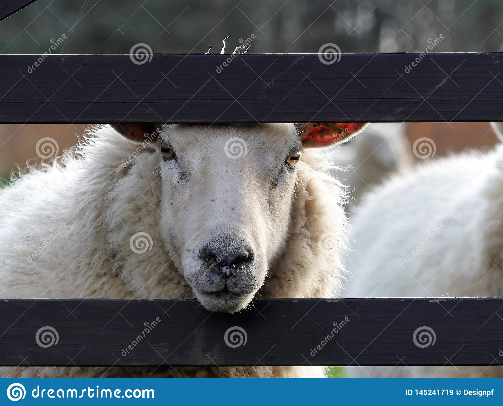 Moutons blancs scrutant par la porte en bois la journée de printemps