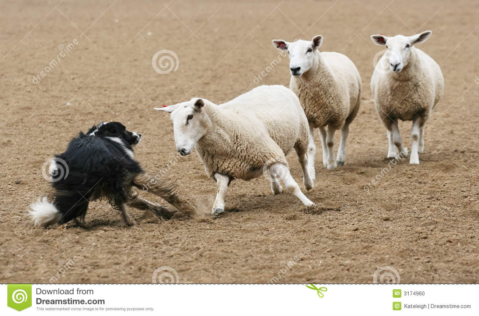 Moutons contre le crabot