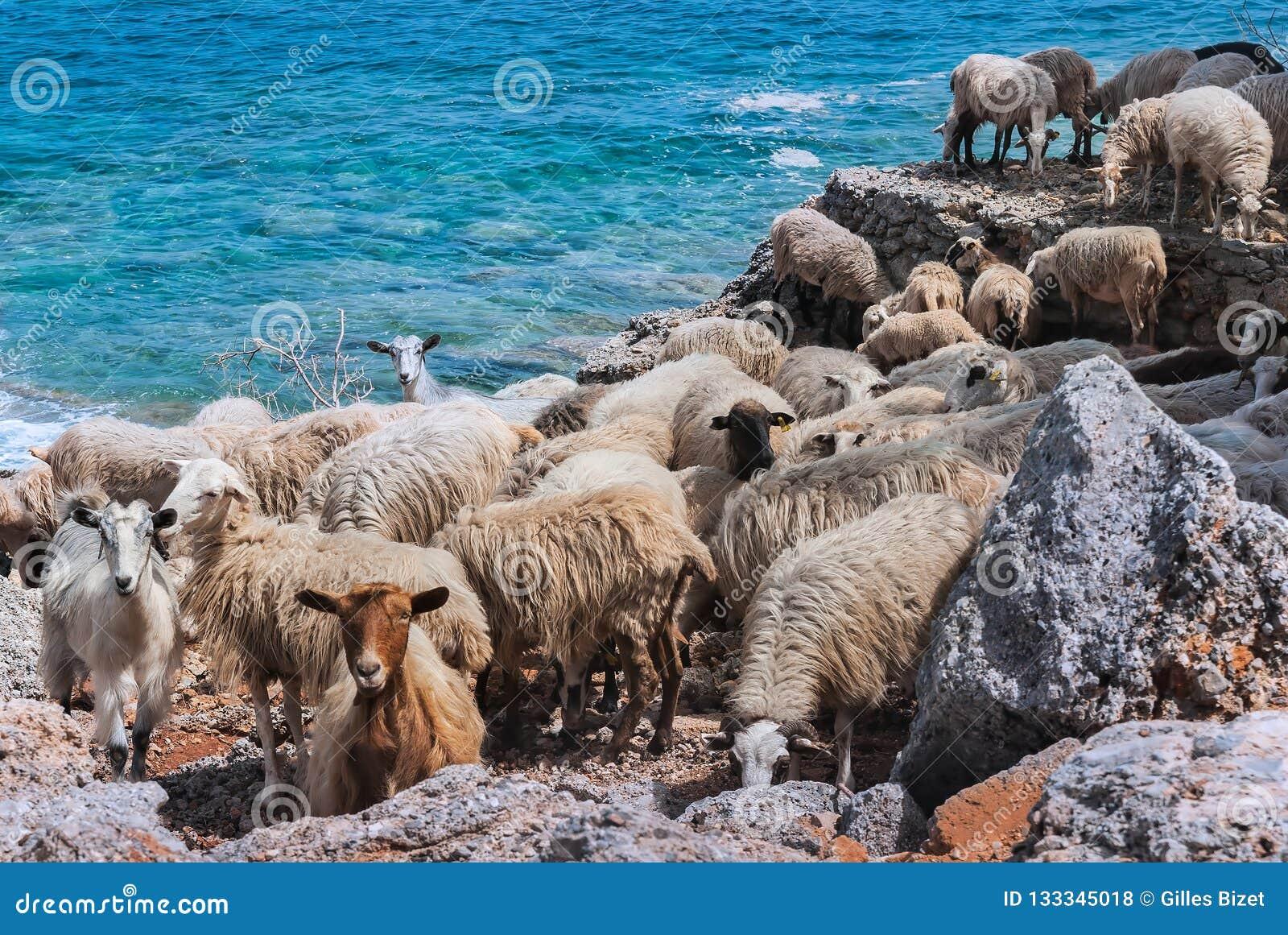 Moutons crétois par la mer