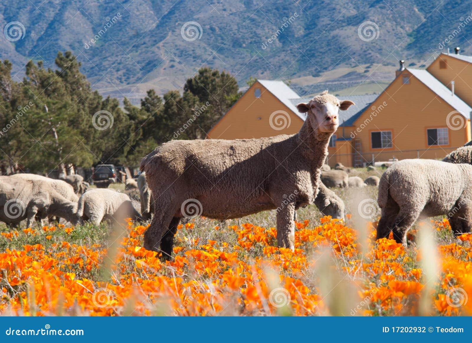 Moutons dans le domaine de pavot