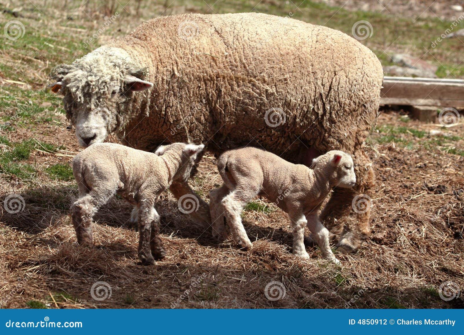 Moutons de brebis avec des agneaux photo stock image du - Photos de moutons gratuites ...