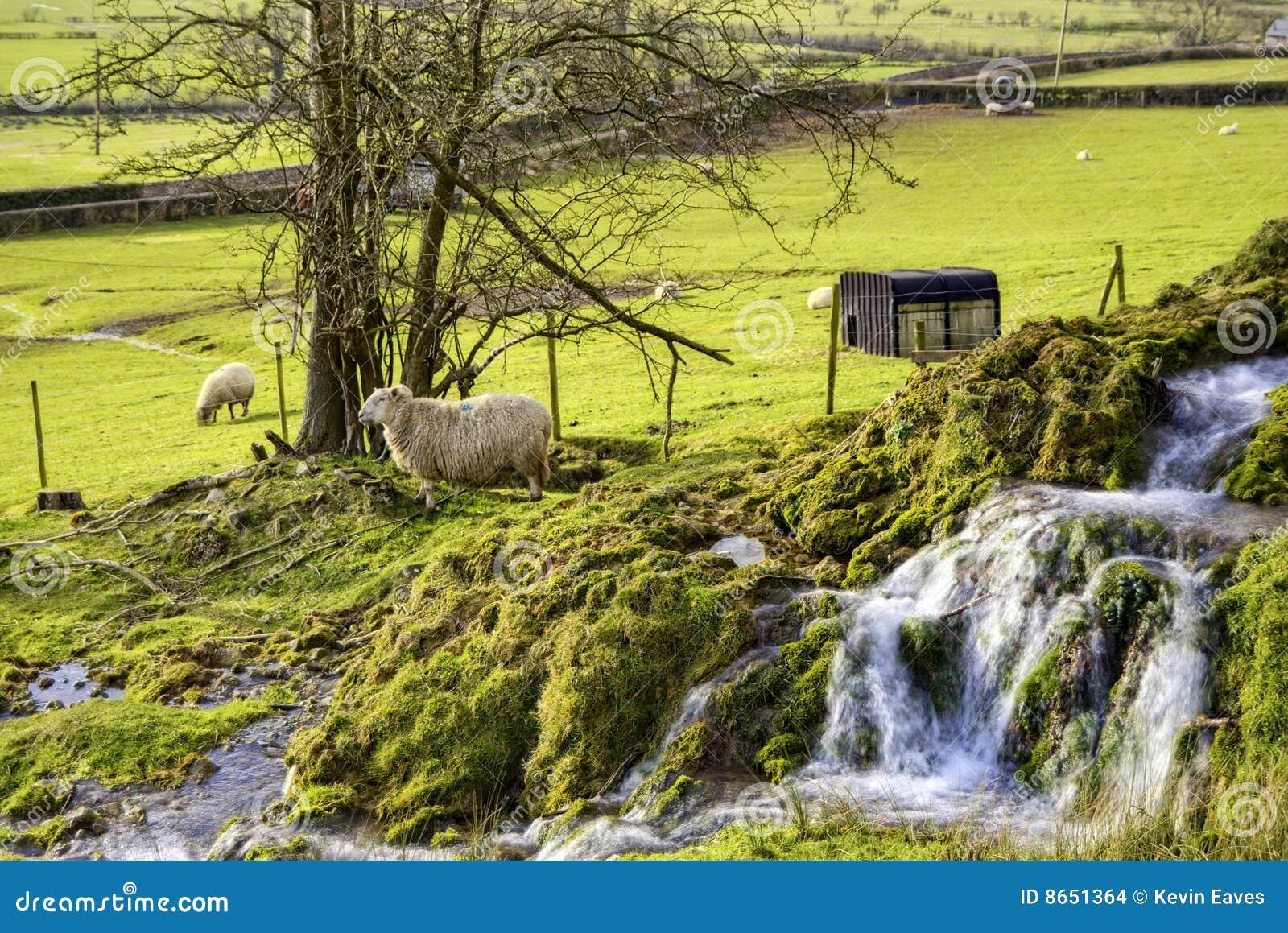 Moutons de campagne
