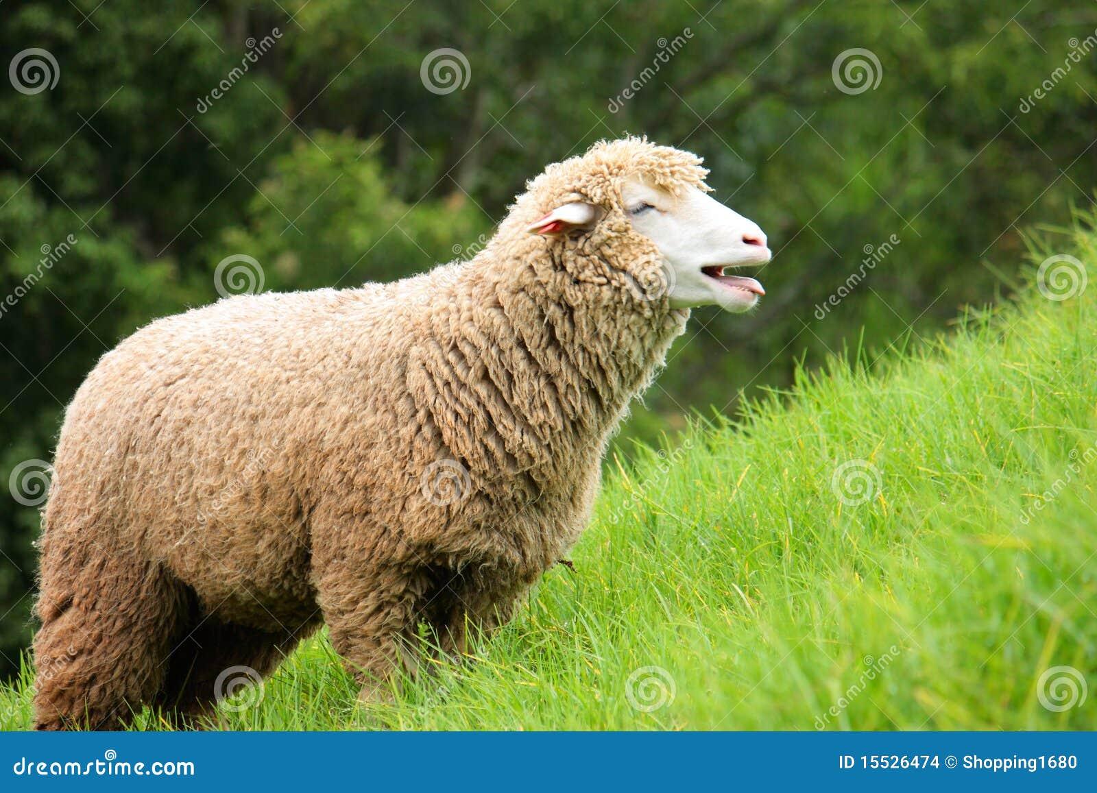 Moutons de corriedale photo stock image du blanc - Photos de moutons gratuites ...