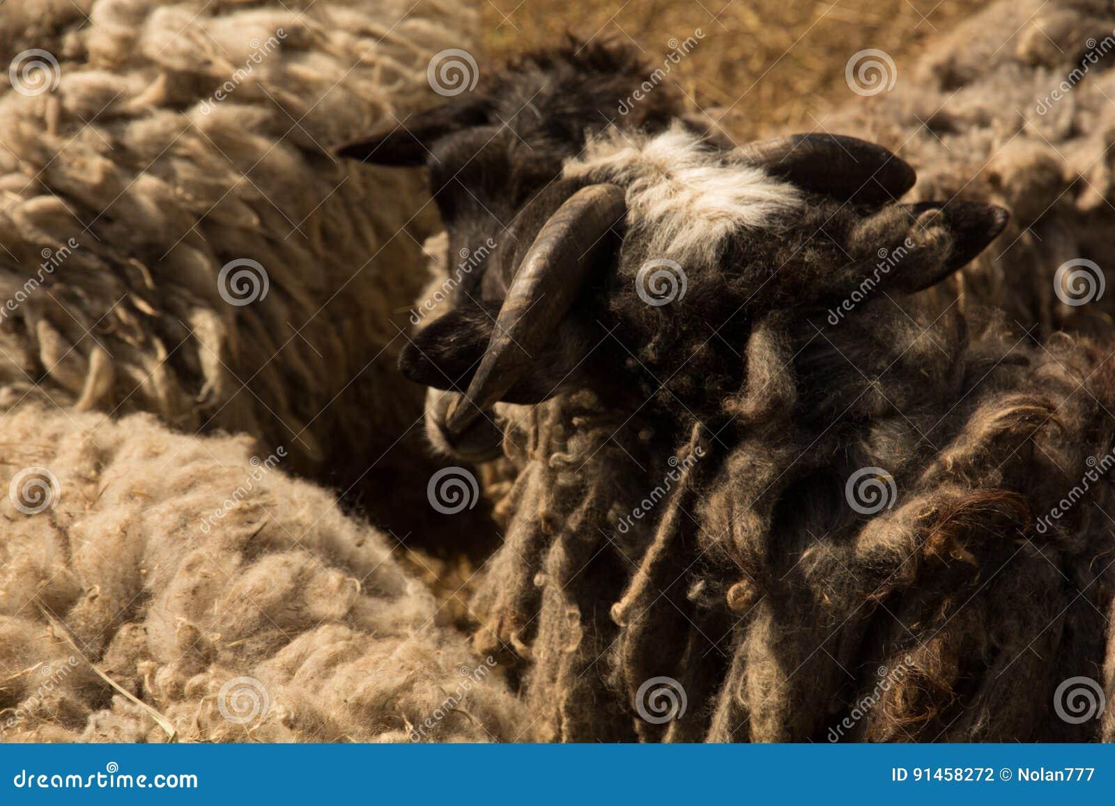 Moutons de Dlack