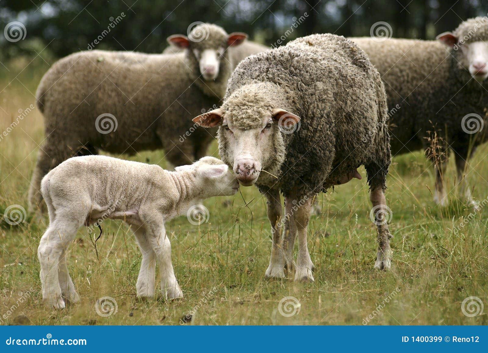 Moutons de mère et petit agneau