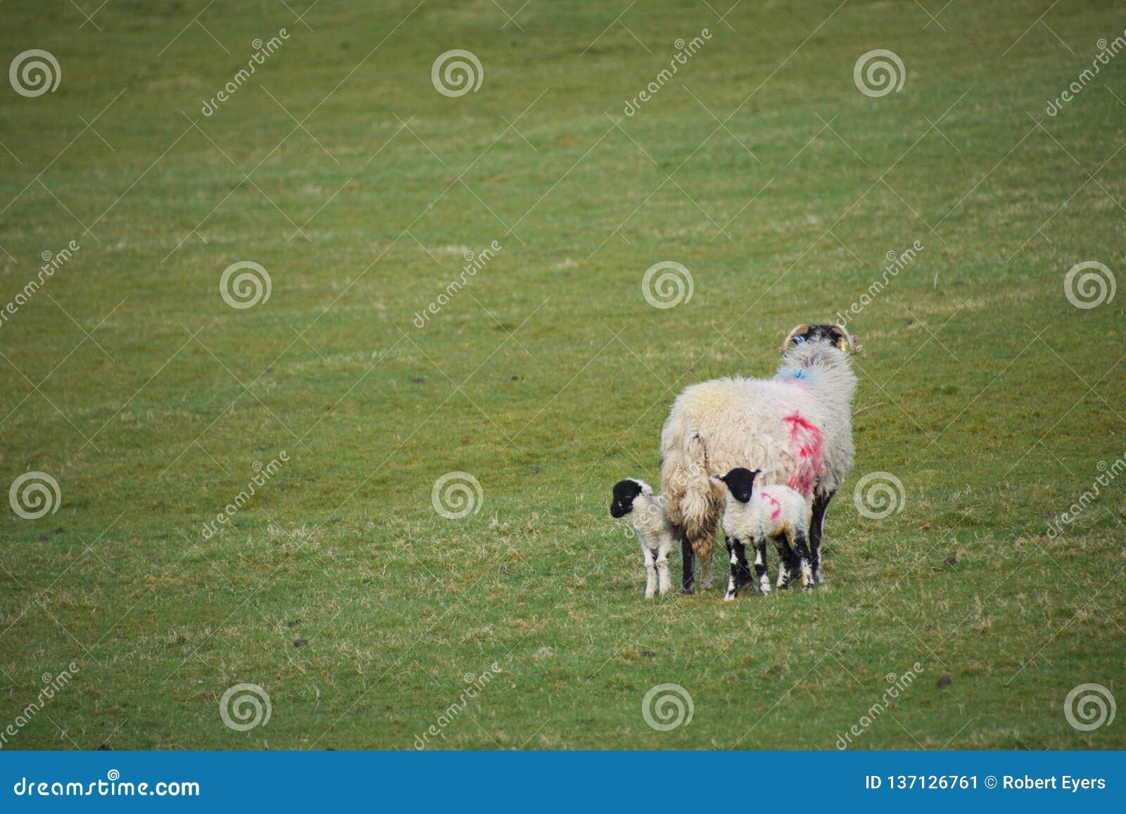 Moutons de mère se tenant dans un domaine avec deux agneaux