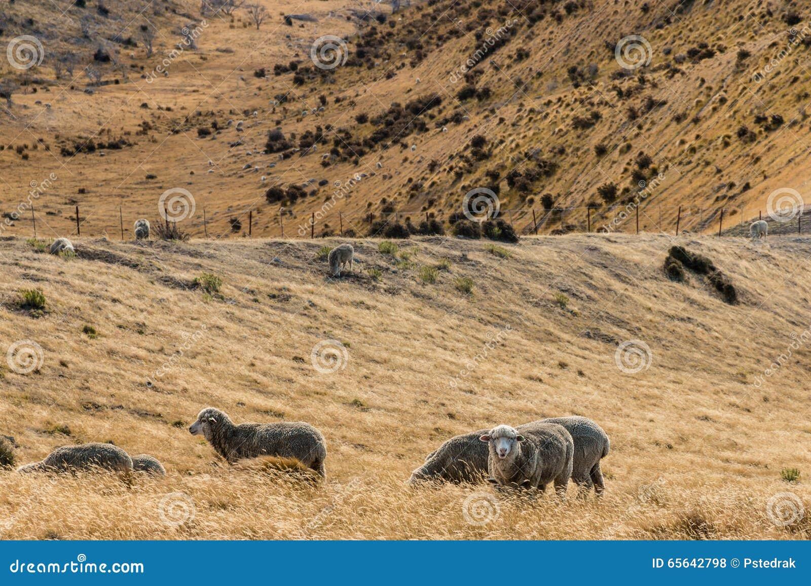 Moutons de Merino frôlant sur la pente