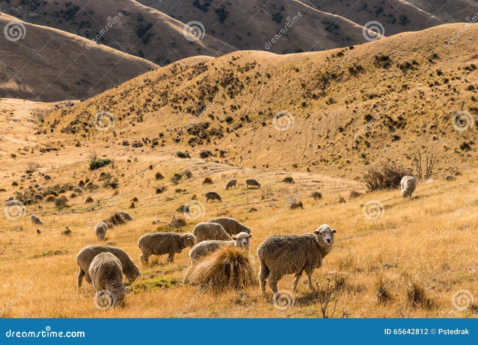 Moutons de Merino frôlant sur la pente sèche