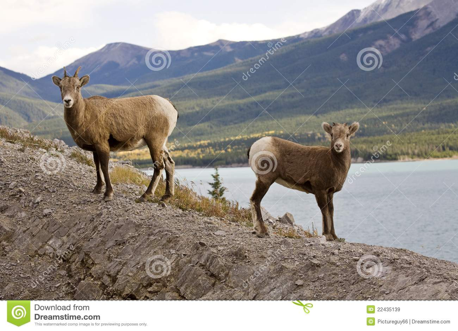 Moutons de montagne rocheuse image stock image du - Photos de moutons gratuites ...