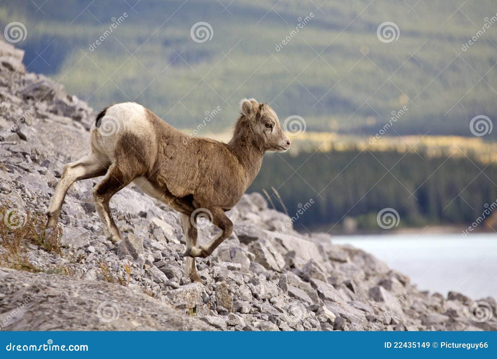 Moutons de montagne rocheuse image stock image du klaxon - Photos de moutons gratuites ...
